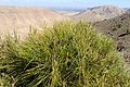 Pinus halepensis kz07 (Morocco).jpg