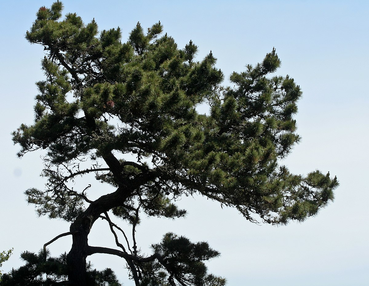 Species Biology Pinus muricata -...