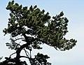 Pinus muricata Mendocino.jpg