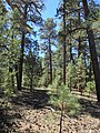 Pinus ponderosa subsp. brachyptera kz01.jpg