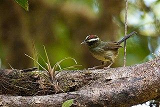 Pirre warbler species of bird