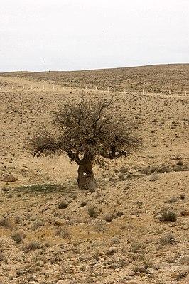 Фисташка атлантическая. Общий вид взрослого дерева. Пустыня Негев. Израиль