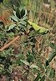 Pistacia-terebinthus - Baizongia-pistaciae 20180810b.jpg