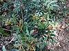 Pistacia lentiscus - Πιστακία η λεντίσκος ή Σχίνος.jpg