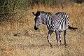 Plains Zebra Equus quagga (16677794428).jpg