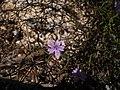 Plant 3b Sos Alinos Cala Liberotto 16072014 40.43219, 9.77814.jpg