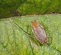 Planuncus tingitanus s.l. MHNT Adult female.jpg