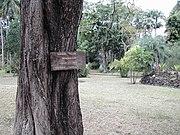 Plaque-Tabebuia-pallida-Réunion