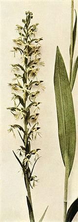 Platanthera lacera WFNY-039B.jpg