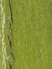 Zelený povlak na kmeni stromu spôsobený drobnozrnkom