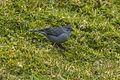 Plumbeous Sierra-Finch - South Ecuador S4E3063 (23309312611).jpg