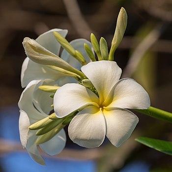 Plumeria (frangipani), flowers in Don Tao, Laos