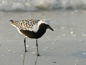 Grey plover - Adult in breeding plumage