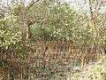 Pneumatophores of Avicennia by Dr. Raju Kasambe DSCN9864 (13).jpg