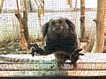 Pocket Monkey - Beijing Rescue and Rehabilitation Center (37402007120).jpg