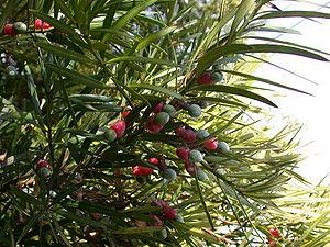 Podocarpus - Podocarpus macrophyllus with mature seed cones