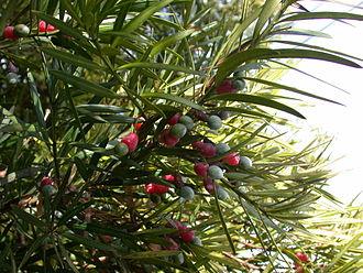 Podocarpaceae - Podocarpus macrophyllus foliage and mature seed cones