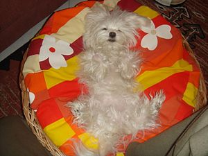 Relaxation (psychology) - A Maltese dog relaxing