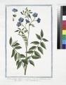 Polemonium vulgare coeruleum - Valeriana coerulea - Valeriana Greca. (Jacob's ladder) (NYPL b14444147-1125082).tiff