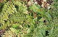 Polystichum setiferum - Palmengarten Frankfurt.jpg