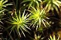 Polytrichum.juniperinum.jpg