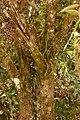 Pomo - Pomarrosa (Syzygium jambos) (15029446768).jpg
