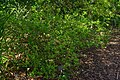 Poncirus trifoliatus, Conservatoire botanique national de Brest 07.jpg