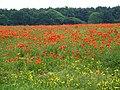 Poppies - geograph.org.uk - 464542.jpg