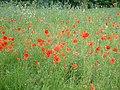 Poppies and cornflowers in Jubilee Park - geograph.org.uk - 7783.jpg
