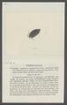 Porcellio interruptus - - Print - Iconographia Zoologica - Special Collections University of Amsterdam - UBAINV0274 098 08 0028.tif
