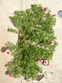 Portulaca grandiflora I.jpg