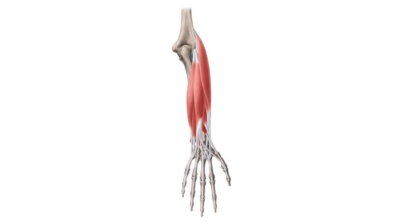 File:Posterior compartment of forearm muscles (preview) - Human ...
