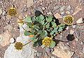 Pozoa coriaceae (8427916205).jpg