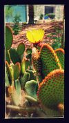 Prickly Pear with effects.jpg