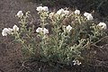 Prickly poppy Argemone munita plant backlit.jpg
