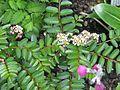 Primula secundiflora ^ Sorbus poteriifolia - Flickr - peganum.jpg