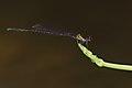 Prodasineura verticalis male-Kadavoor-2015-08-20-002.jpg