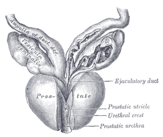 Ampulla of ductus deferens - Seminal vesicles and ampulla of ductus deferens, seen from the front.