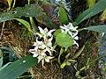 Prosthechea fragrans Costa Rica.jpg
