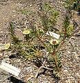 Protea scolymocephala 1.jpg