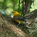 Prothonotary Warbler (6947832258).jpg