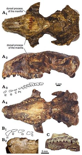 Collón Curá Formation - Skull and upper dentition of P. endiadys