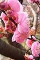 Prunus Peggy Clarke 348473222.jpg