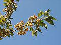 Prunus lannesiana Wils cv Gioiko03.jpg
