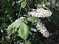 Prunus padus subsp. padus sl11.jpg