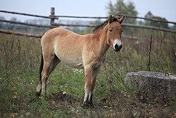 Przewalski's Horse (02710137).jpg