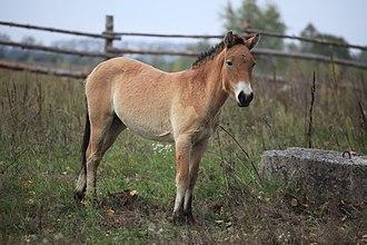 Przewalski's horse - Przewalski's Horse in the Chernobyl Exclusion Zone