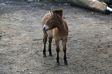 Przewalski-Pferd (Equus ferus przewalskii) Zoo Salzburg 2014 c.jpg