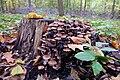 Psathyrella piluliformis (Wässriger Mürbling).jpg