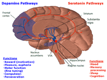 In this drawing of the brain, the serotonergic system is red and the mesolimbic dopamine pathway is blue. There is one collection of serotonergic neurons in the upper brainstem that sends axons upwards to the whole cerebrum, and one collection next to the cerebellum that sends axons downward to the spinal cord. Slightly forward the upper serotonergic neurons is the ventral tegmental area (VTA), which contains dopaminergic neurons. These neurons' axons then connect to the nucleus accumbens, hippocampus, and the frontal cortex. Over the VTA is another collection of dopaminergic cells, the substansia nigra, which send axons to the striatum.